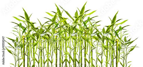 junge Bambuspflanzen vor weißem Hinterund