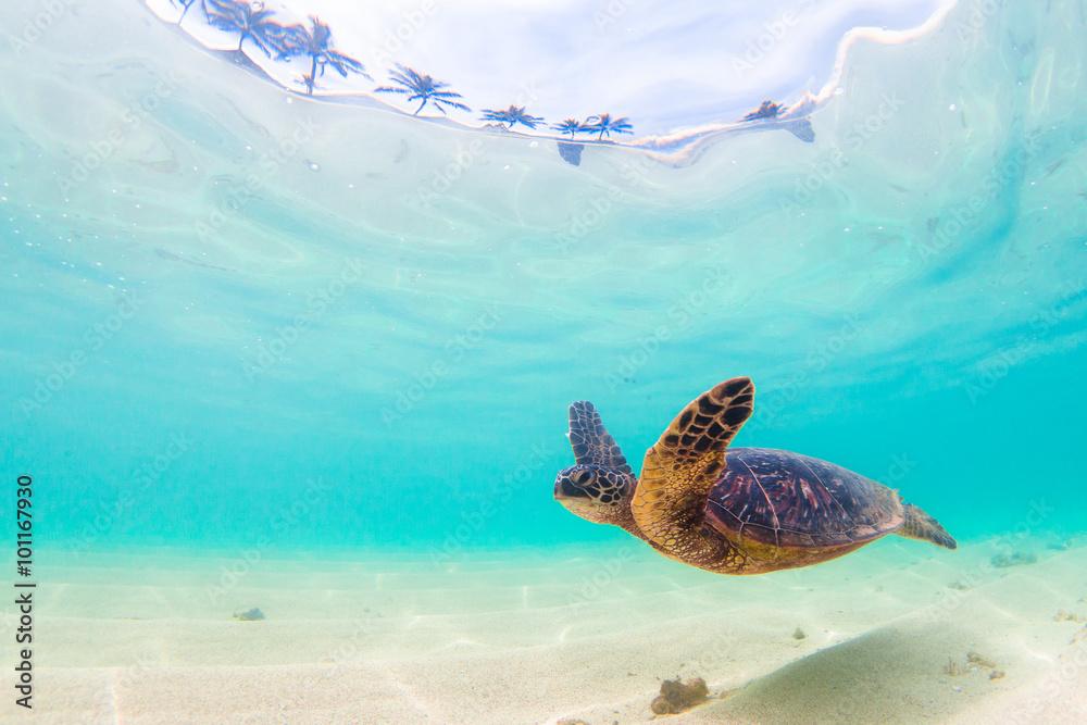 Endangered Hawaiian Green Sea Turtle cruises in the warm waters of the Pacific Ocean in Hawaii