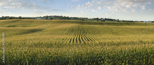 Canvas Midwestern cornfield in late afternoon sun panorama