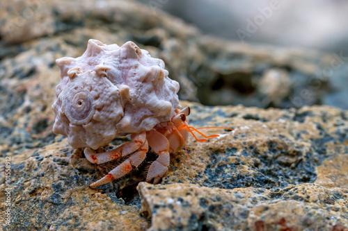 Obraz na płótnie Hermit crab