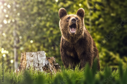 Fototapeta Big brown bear in nature or in forest, wildlife, meeting with bear, animal in na
