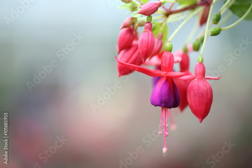 Fotografija fuchsia flowers in close up