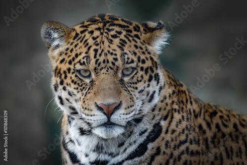 Fototapeta premium Close up head only photograph of a Jaguar big cat staring forward into the camera.