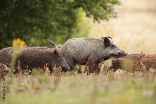 chasse sanglier mammifère cochon sauvage battue chasseur animal Fototapeta