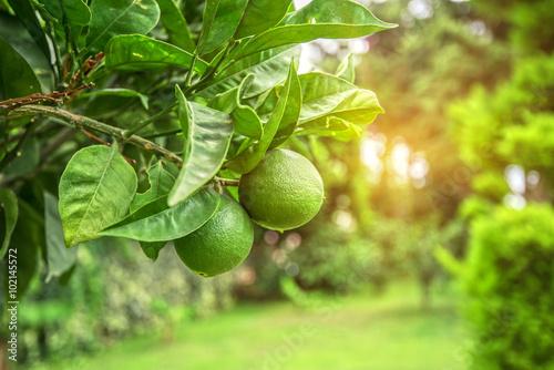 Lime tree fruits