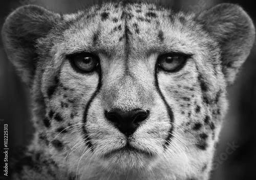 Cheetah , A black and white head shot of a adult cheetah .