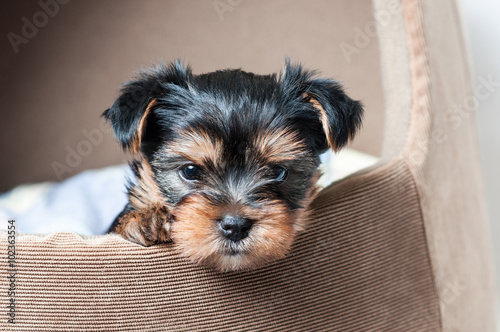 Canvas Print Puppy Yorkshire terrier close up