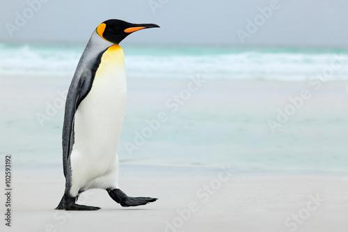 Canvas Print Big King penguin going to blue water, Atlantic ocean in Falkland Island, coast s