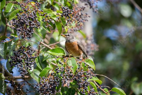 Vászonkép American Robin, Turdus migratorius, feeds on black berry-like fruit of Cinnamomum Camphora tree