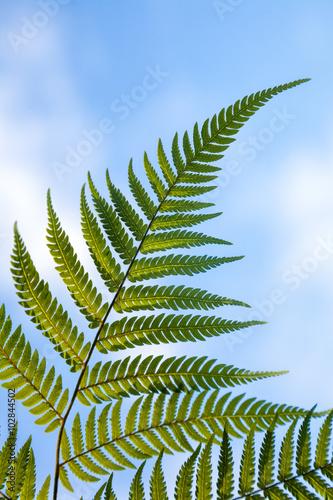 New Zealand national symbol silver fern leaf