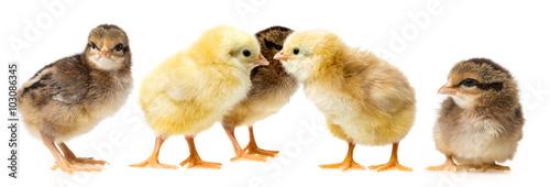 Slika na platnu chickens