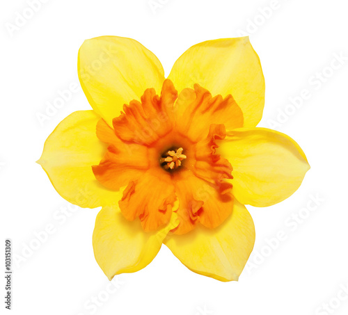 Fotografie, Obraz Flower magnificent yellow narcissus flower head isolated on white background