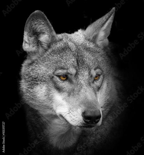 Canvas wolf portrait