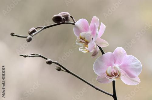 Fototapeta premium Storczyk - Orchidea