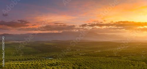 Spanish olive tree landscape at sunrise Fototapeta