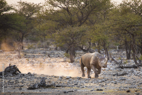 A black rhino in Etosha National Park.