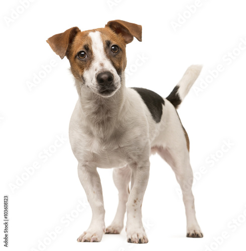 Canvas Print Jack Russell looking at the camera, isolated on white