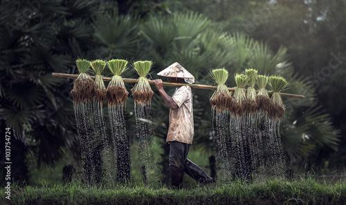 Fotografia Farmers grow rice in the rainy season