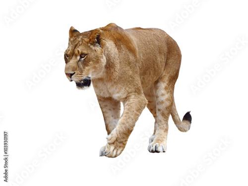 Carta da parati Lioness on white background