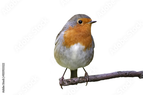 Canvas Print Robin on a branch on white background
