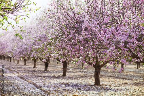 Alley of pink almond trees Fotobehang
