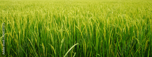 Photo rice plant in rice field