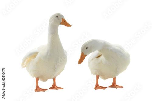 Tableau sur Toile Two  duck