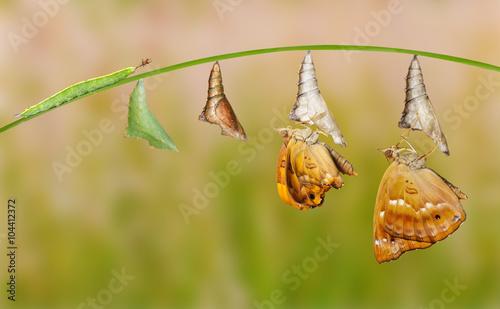 Fényképezés Life cycle of female black prince butterfly