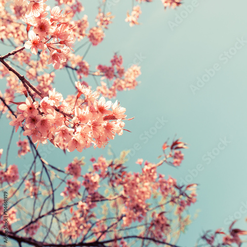 Vintage cherry blossom - sakura flower. nature background  (retro filter effect color)