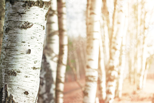 Canvas Print Nature blurred background with birch tree