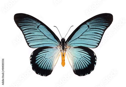 Fototapeta Beautiful butterfly with cyan wings isolated on white.