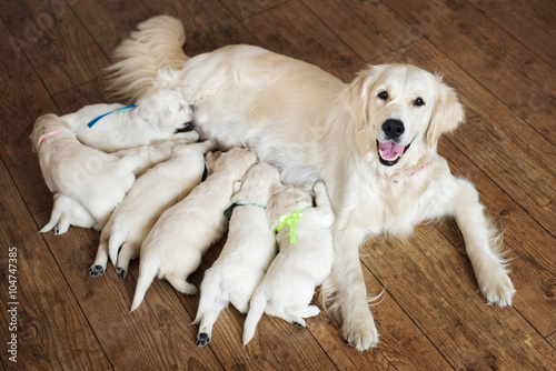 happy golden retriever dog feeding puppies Fototapeta
