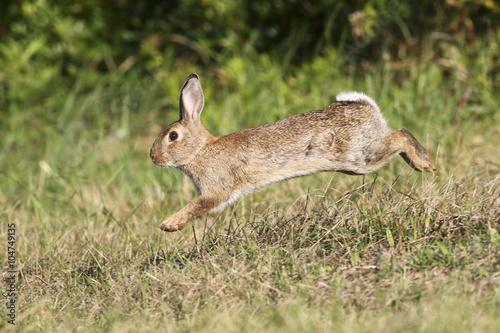 Wild rabbit jumping