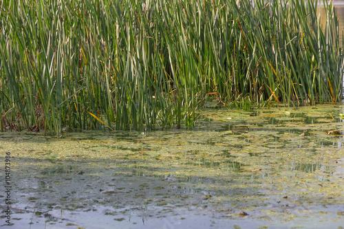 Vászonkép bog and sedge in pond