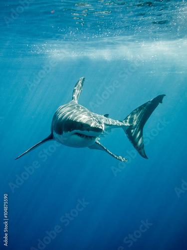 Fototapeta premium Żarłacz biały z czterema palcami pływającymi w promieniach słońca na błękitnym Pacyfiku na wyspie Guadalupe w Meksyku