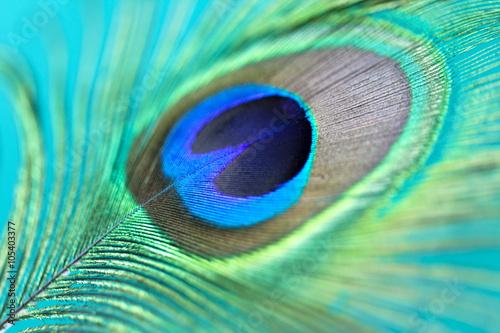 Fototapeta premium Closeup of a beautiful peacock feather