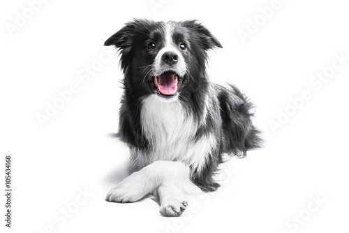 Fotomural Portrait of a Border Collie on a light background