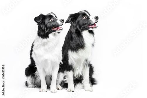 Obraz na plátne Two border collie sitting on a white background