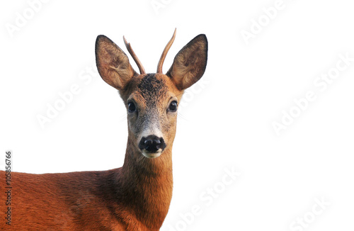 Canvas Print Close up of roe deer, isolated on white