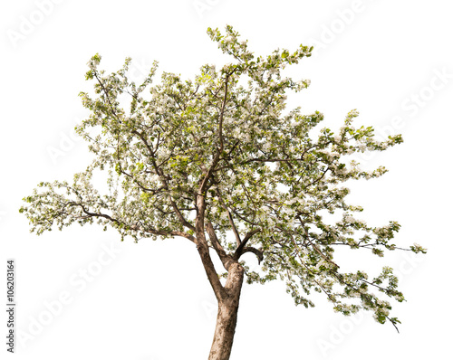 blooming large apple tree branch on white