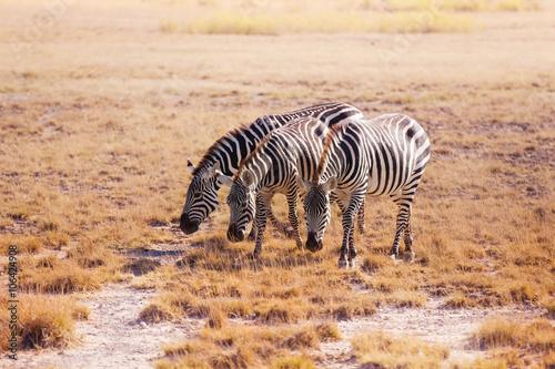 Three zebras pasturing at plain of Kenya, Africa