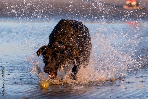 Obraz na plátne Dog running in the water
