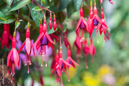 Valokuvatapetti Pink and purple fuchsia flowers