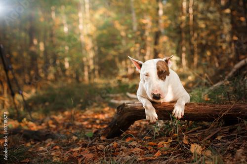 Fotografering Dog  Bull Terrier walking in the park