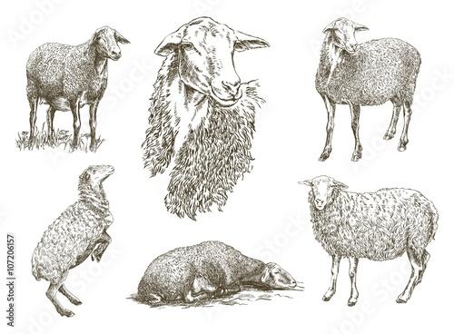 Obraz na płótnie sheep breeding sketch