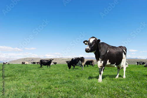 Obraz na plátně pasture with animals in summer day in new zealand