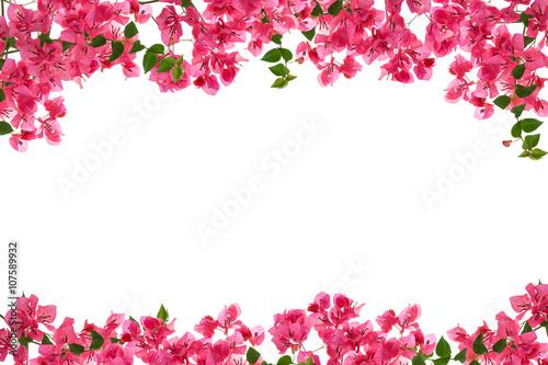 Fotografía Bougainvillea flower frame on white background ,Provincial flowe