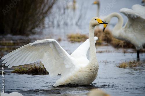 Whooper swans (Cygnus cygnus), Lake Hornborga, Sweden