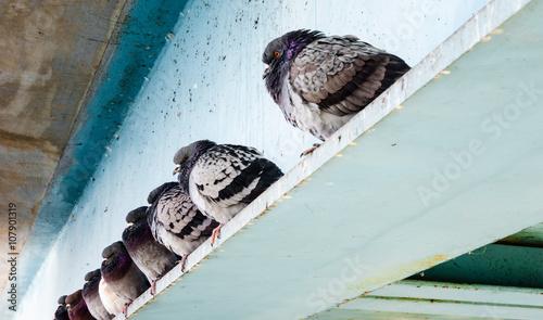 Row of gray pigeons sitting on steel beam.