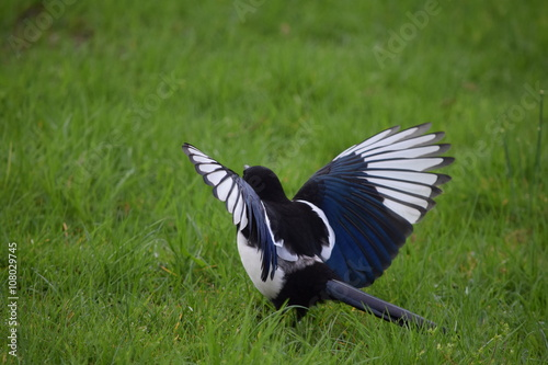 Canvas Print Magpie attracting a mate